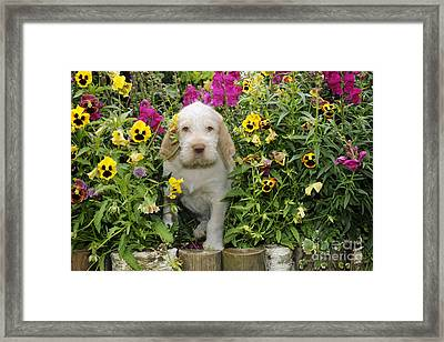 Spinone Puppy Dog Framed Print