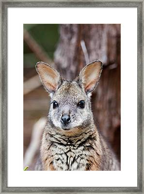 Tammar Wallaby (macropus Eugenii Framed Print