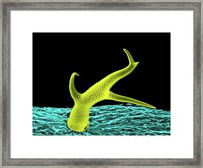Thale Cress Leaf Trichome Framed Print