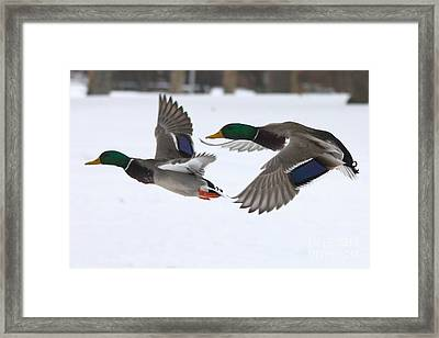 The Great Race Framed Print by John Telfer