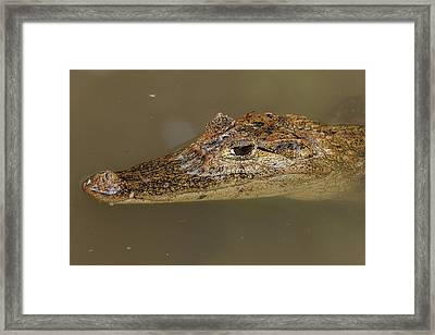 The Spectacled Caiman Is The Most Framed Print