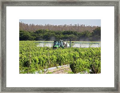 Tomato Growing Framed Print