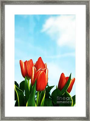 Tulips Background Framed Print by Michal Bednarek
