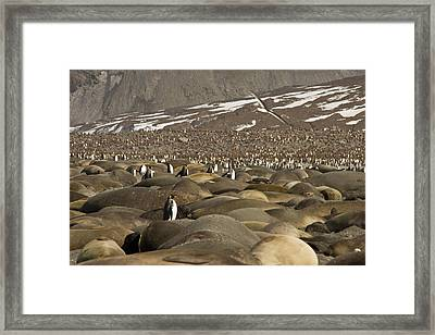 Uk Territory, South Georgia Island, St Framed Print by Jaynes Gallery