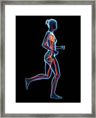 Vascular System Of Runner Framed Print