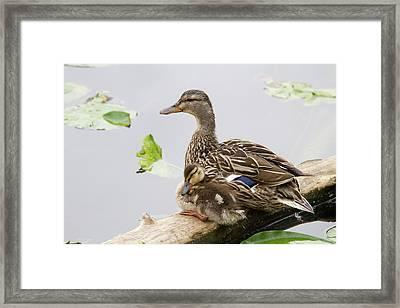 Wa, Juanita Bay Wetland, Mallard Female Framed Print