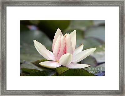 Waterlily Framed Print by Michal Boubin