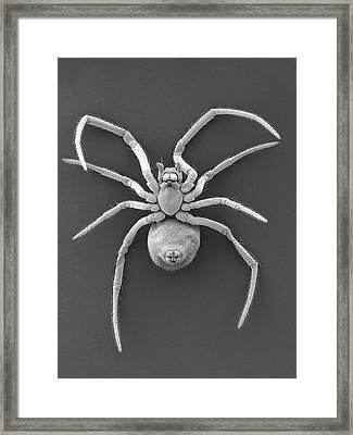 Western Black Widow Spiderling Framed Print by Dennis Kunkel Microscopy/science Photo Library