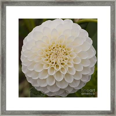 White Dahlia Framed Print