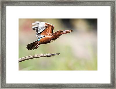 White-throated Kingfisher Framed Print by Photostock-israel