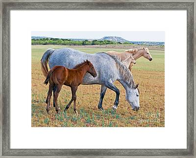 Wild Horse Mother And Foal Framed Print by Millard H Sharp