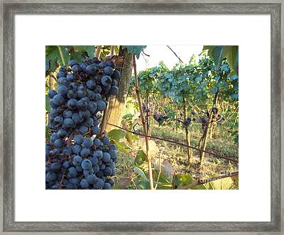 Wine Yards In Loppiano Framed Print