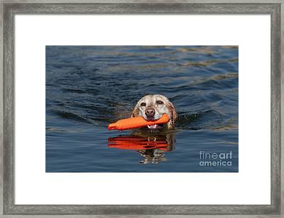Yellow Labrador Retriever, Retrieving Framed Print