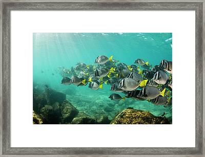 Yellowtail Surgeonfish (prionurus Framed Print