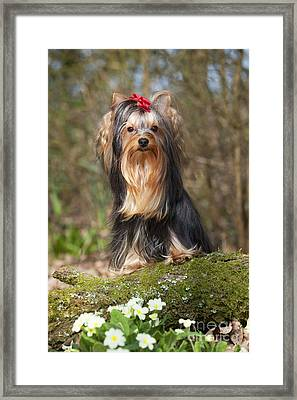 Yorkshire Terrier Framed Print by John Daniels