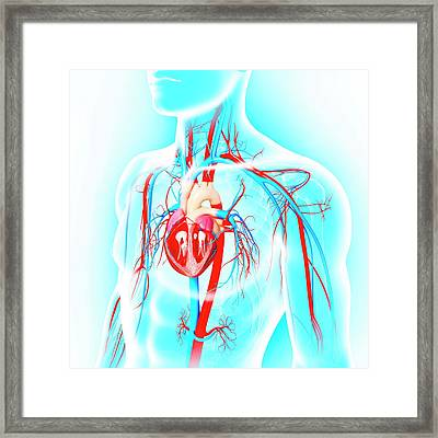 Male Cardiovascular System Framed Print by Pixologicstudio/science Photo Library