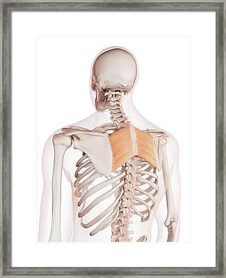 Human Back Muscles Framed Print by Sebastian Kaulitzki/science Photo Library