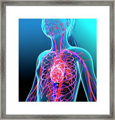 Human Cardiovascular System Framed Print by Pixologicstudio/science Photo Library