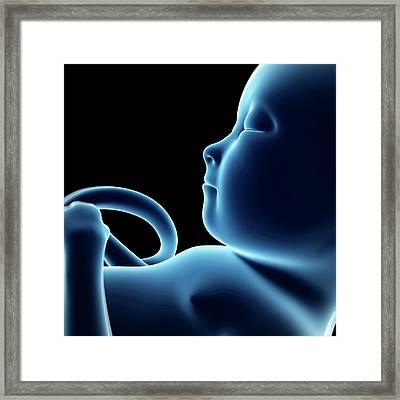 Human Fetal Development Framed Print by Sebastian Kaulitzki