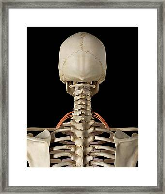 Human Neck Muscles Framed Print by Sciepro