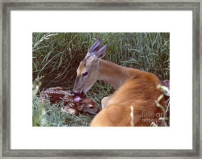 White-tailed Deer Framed Print by Jack R Brock
