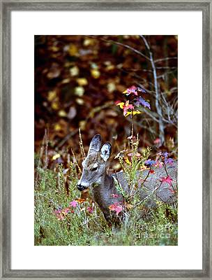 Framed Print featuring the photograph White-tailed Deer by Jack R Brock