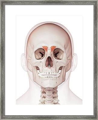 Human Facial Muscles Framed Print by Sebastian Kaulitzki/science Photo Library