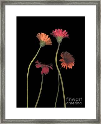 4daisies On Stems Framed Print