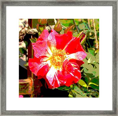 4th Of July Rose Framed Print by Alys Caviness-Gober