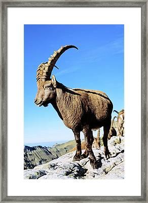 Alpine Ibex (capra Ibex Framed Print