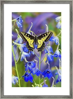 Anise Swallowtail Butterfly, Papilio Framed Print
