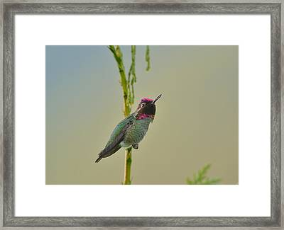 Framed Print featuring the photograph Anna's Hummingbird by Kathy King