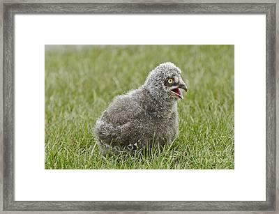 Baby Snowy Owl Framed Print by JT Lewis