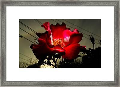 Backyard Rose Framed Print by Jason Moran
