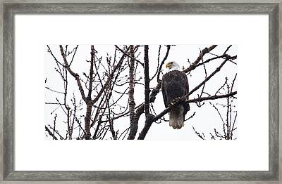 Bald Eagle In Burlington Iowa Framed Print by Twenty Two North Photography