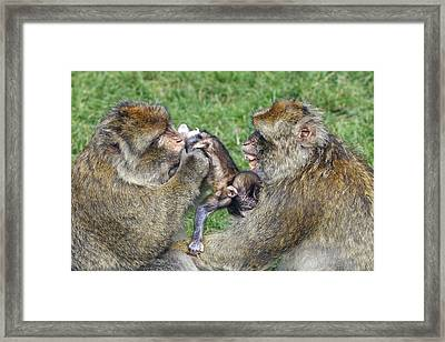 Barbary Macaques Framed Print