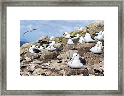 Black-browed Albatross (thalassarche Framed Print