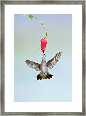 Black-chinned Hummingbird (archilochus Framed Print by Larry Ditto