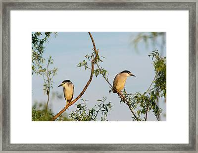 Black-crowned Night Heron (nycticorax Framed Print by Martin Zwick