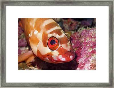 Blacktip Grouper Framed Print by Georgette Douwma
