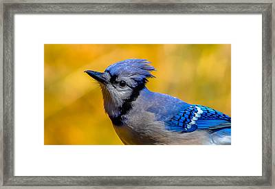 Blue Jay Framed Print by Brian Stevens