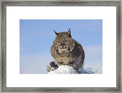 Bobcat Framed Print by John Shaw