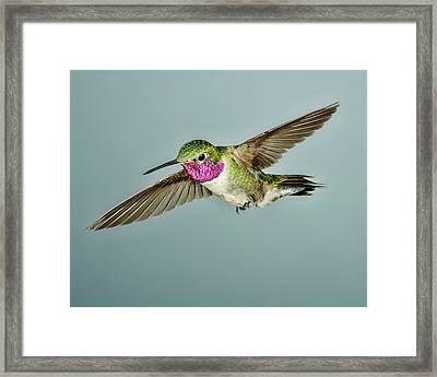 Broadtail Hummingbird Framed Print by Gregory Scott