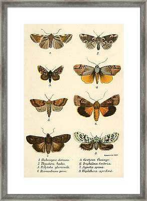 Butterflies Framed Print by English School