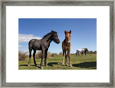 Camargue Horse Foal, Born Dark And Turn Framed Print