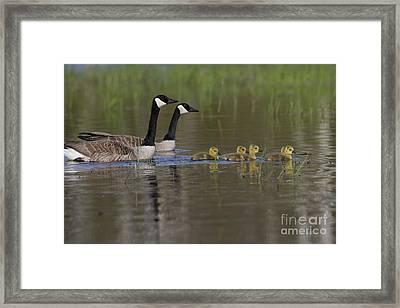 Canada Geese And Goslings Framed Print by Linda Freshwaters Arndt