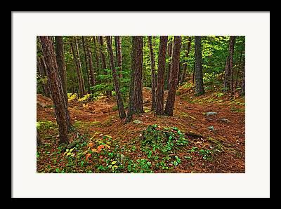 Pinus Resinosa Framed Prints