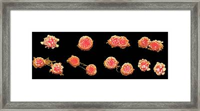 Cancer Cell Division Framed Print by Steve Gschmeissner