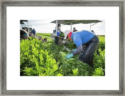 Celery Harvest Framed Print
