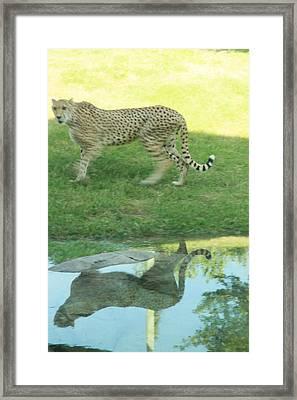 Cheetah Framed Print by Tinjoe Mbugus